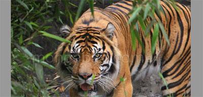 Harimau-Sumatera11.jpg