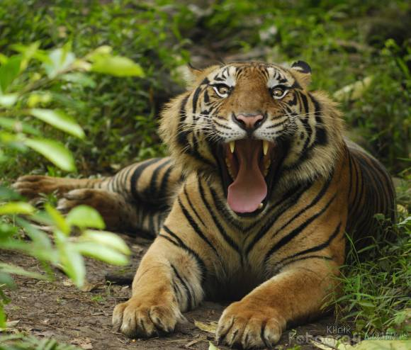 Harimau_Sumatera.jpg