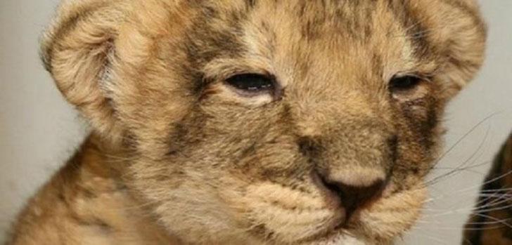 anak-singa.jpg