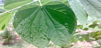 daun-kupu-kupu1.jpg