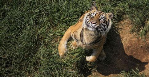 harimau-sumatera1.jpg