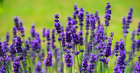 lavender11.jpg