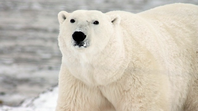 polar-bear_natureworldnews_com.jpg